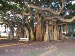 Banyan Hawaii