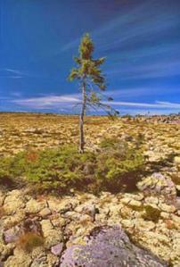 oldest tree sweden
